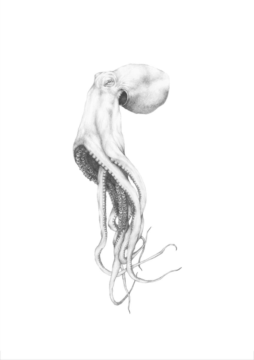 23 Ryan N Octopus Study Pencil On Paper 38x29cm